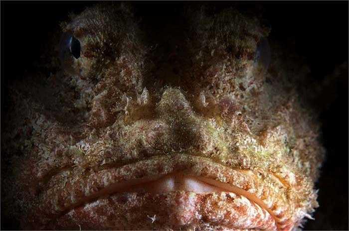 Giống như tên gọi của mình, cá bò cạp là một trong những loại cá có độc tố cực lớn. Nọc độc của chúng nằm ở những chiếc gai trên người. (Nguồn: Stocktrek Images)