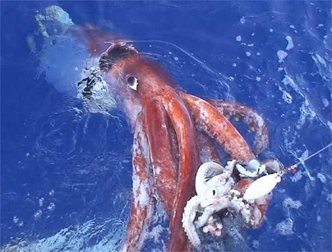 Một con mực ống khổng lồ có chiều dài lên tới 13m. (Nguồn: Getty)