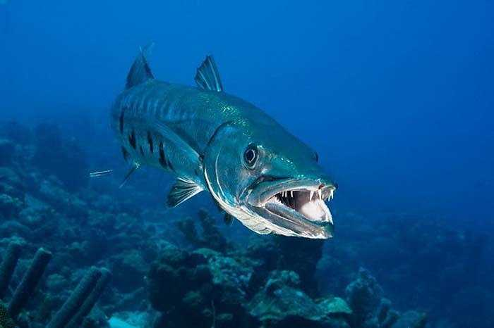 Cá Barracuda (hay cá nhồng) dù không tấn công con người nhưng bộ răng của chúng vẫn gây cho chúng ta nỗi ám ảnh. (Nguồn: Design Pics)