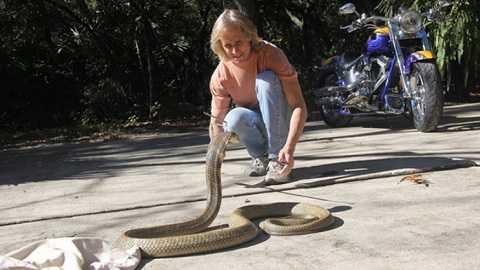 Con rắn hổ mang chúa xổng chuồng đang khiến người dân hoảng loạn