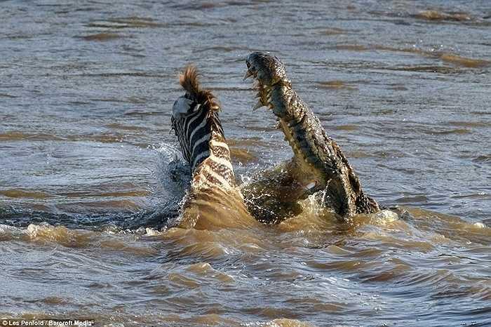 Con ngựa vằn đang cố gắng vượt qua con sông trong công viên Maasai Mara, Kenya