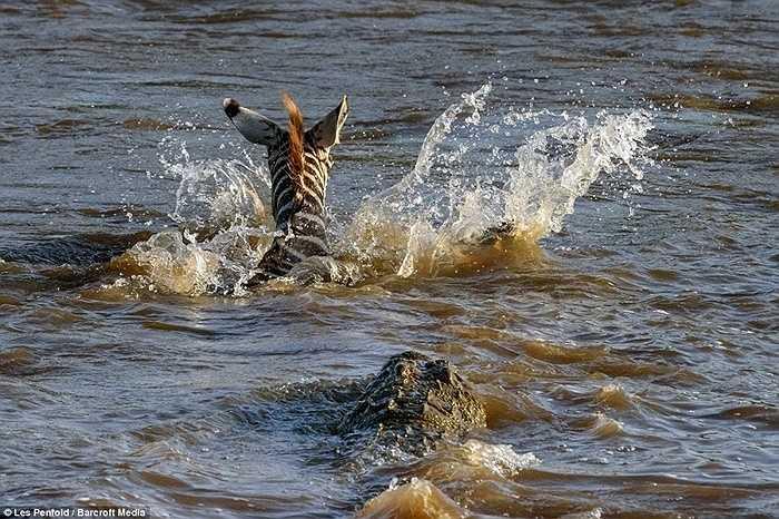 Con ngựa vằn xấu số tìm cách vượt khỏi tầm tấn công của những kẻ đi săn