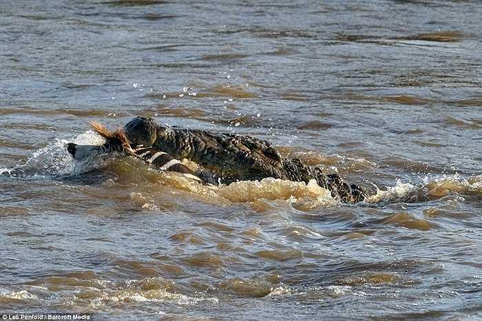 Chúng nhanh chóng hạ gục con mồi, dìm xuống nước trước khi tận hưởng chiến lợi phẩm