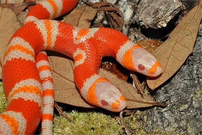 Con rắn 2 đầu này được sinh ra ở khu bảo tồn rắn Sunshine ở Florida (Mỹ). Các nhân viên cho ấp 7 quả trứng thì có 1 quả nở ra rắn 2 đầu