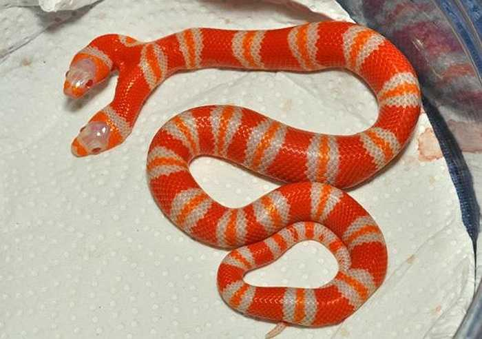 Chú rắn dài khoảng 1m nhưng thường cuộn tròn mình lạ. Nó ra đời cách đây 4 năm và gây xôn xao khắp thế giới