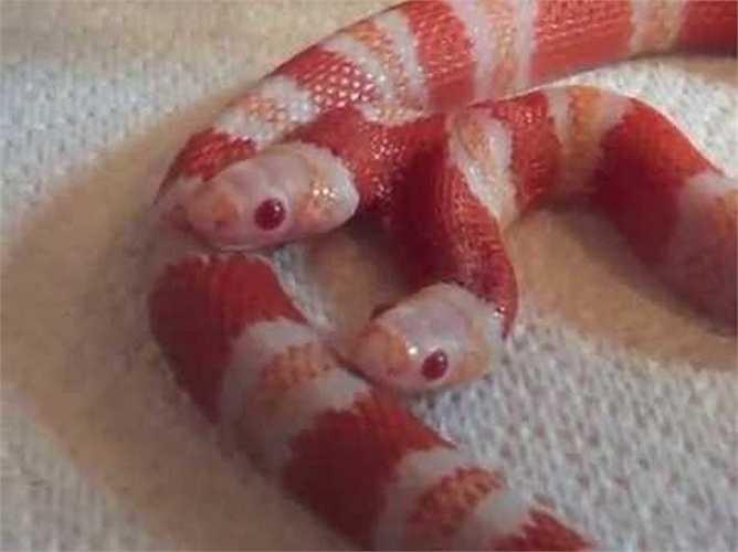 Con rắn này đặc biệt ở chỗ là dòng rắn bạch tạng, có nghĩa thiếu đi màu sắc tối trên da. Rắn 2 đầu đã hiếm, rắn bạch tạng còn hiếm hơn