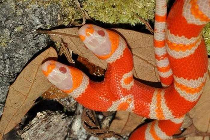 Con rắn được ông Todd Ray đặt tên là Medusa. Ông đang là nhà điều hành buổi biểu diễn của những động vật 2 đầu có tên là Venice Beach Freakshow.