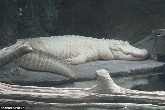 Hiện ở Mỹ có dưới 15 con cá sấu da trắng như Spots