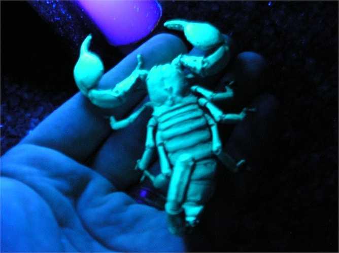 Ánh sáng ma quái xanh rợn đến đáng sợ trên cơ thể của bọ cạp