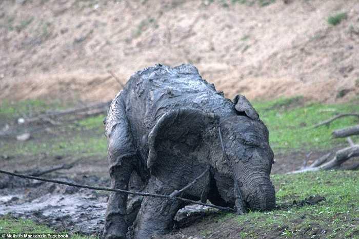 'Con voi có vẻ hung dữ sau 4 ngày bị kìm kẹp dưới bùn và giờ lại bị buộc dây vào thân, nó dường như không hiểu chúng tôi đang cố gắng giúp nó', Taylor nói