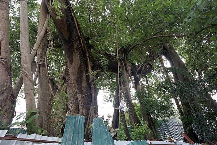 Ngoài thân chính đường kính hơn 2 m, cây có 5-6 rễ phụ, có rễ vừa hai người lớn ôm.