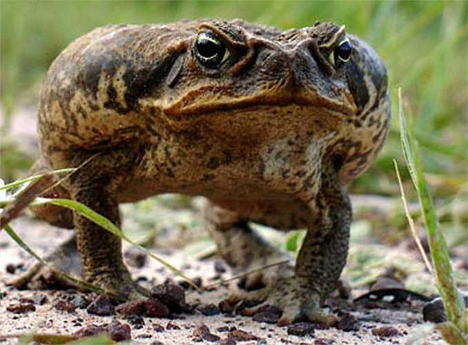 Tuổi thọ của loài này đạt từ 10 đến 15 năm trong môi trường tự nhiên. Trong môi trường bán tự nhiên chúng có thể sống trên 35 năm.