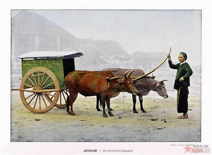 Xe bò kéo ở miền Trung.