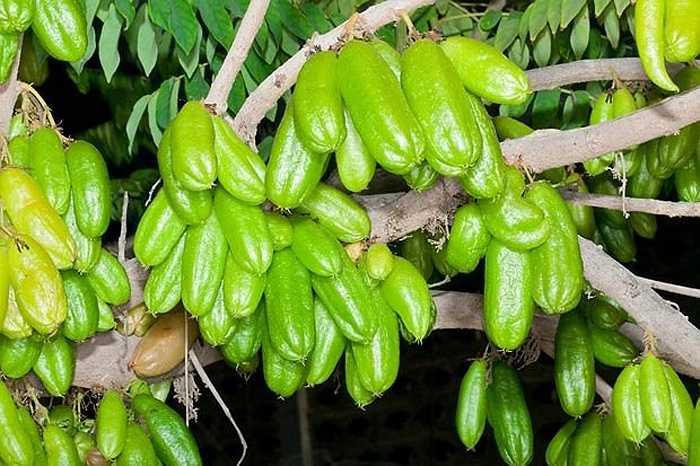 Khế tàu là một loài cây ăn trái thuộc họ Axalidaceae, có vị chua, nhiều nước.