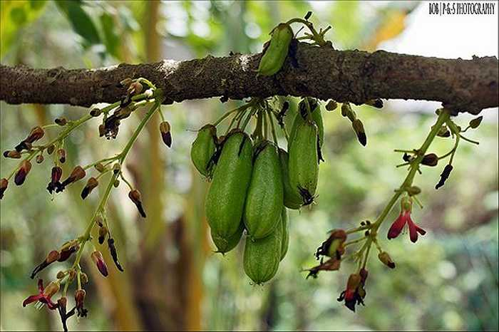 Ở châu Âu, người ta trồng giống khế tàu này trong chậu và đặt cây ở nơi ấm nóng trong mùa đông vì cây không chịu lạnh dưới 10°C.