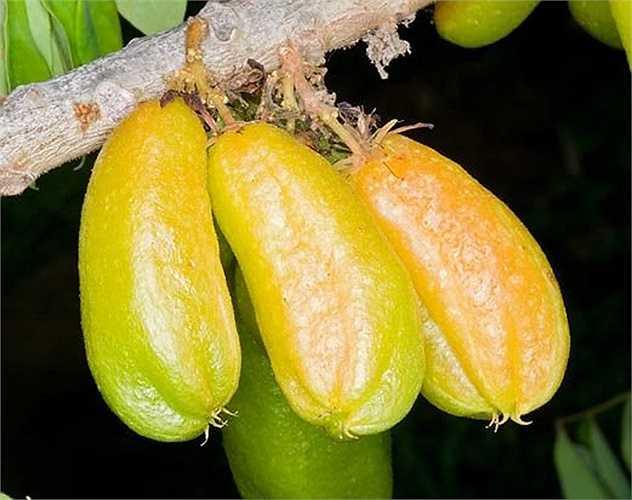 Khi chín, vỏ ngoài của trái láng sáng bóng, mỏng, mềm dịu và thịt quả ăn giống như thạch, có vị chua.