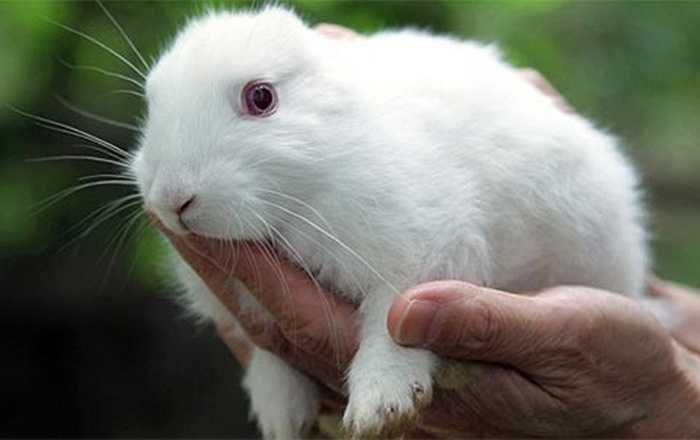 Còn chú thỏ này sinh ra đã không có tai