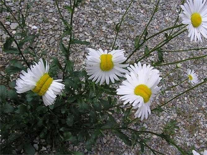 Hoa cúc sinh đôi kỳ lạ