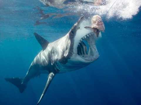 cá mập trắng luôn cắn xé con mồi và ăn thịt trong vòng một vài nốt nhạc.