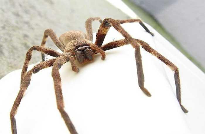 Tương tự như ve, các loài nhện như nhện cua cũng đã xuất hiện từ 570 triệu năm trước. Các nhà khoa học tin rằng tổ tiên chung của ve, nhện và côn trùng là một loài sống dưới nước.
