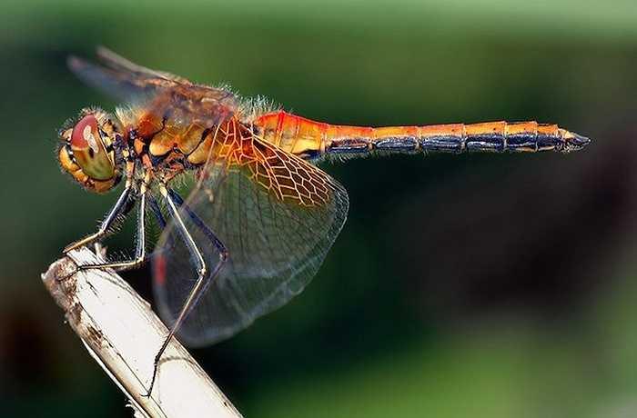 Chuồn chuồn và chuồn chuồn kim có lịch sử từ 406 triệu năm trước. Tổ tiên xa xôi của chúng là một trong số những động vật bay đầu tiên trên trái đất.
