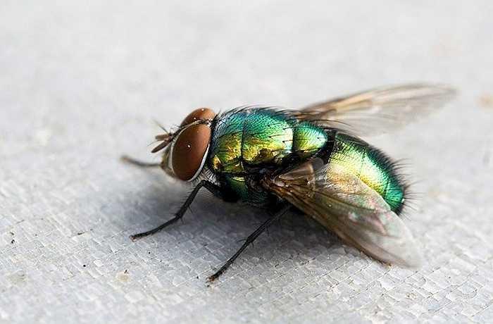 Các loài ruồi như ruồi nhà đã xuất hiện từ 243 triệu năm trước. Nghiên cứu cũng cho biết tổ tiên chung gần nhất với ruồi hiện đại sống vào khoảng 158 triệu năm trước.
