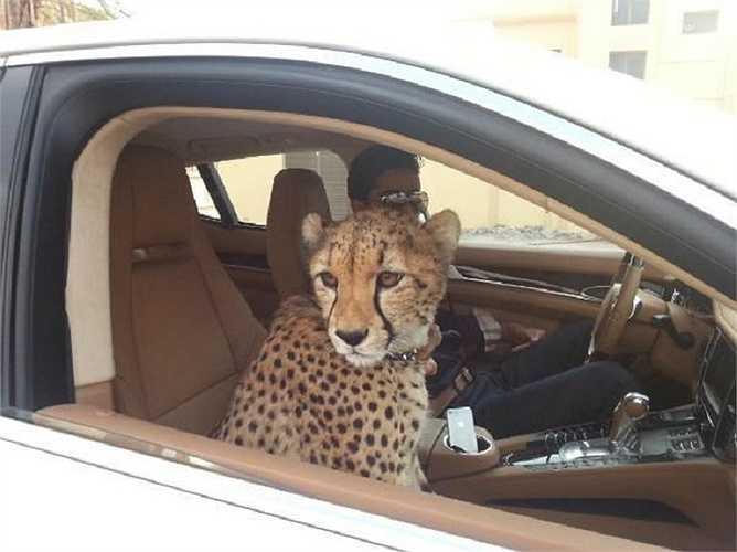 Ở Dubai bạn có thể nhìn thấy động vật hoang dã từ một ghế hành khách. Vâng, chỗ ngồi của bạn có thể bị một con báo chiếm mất