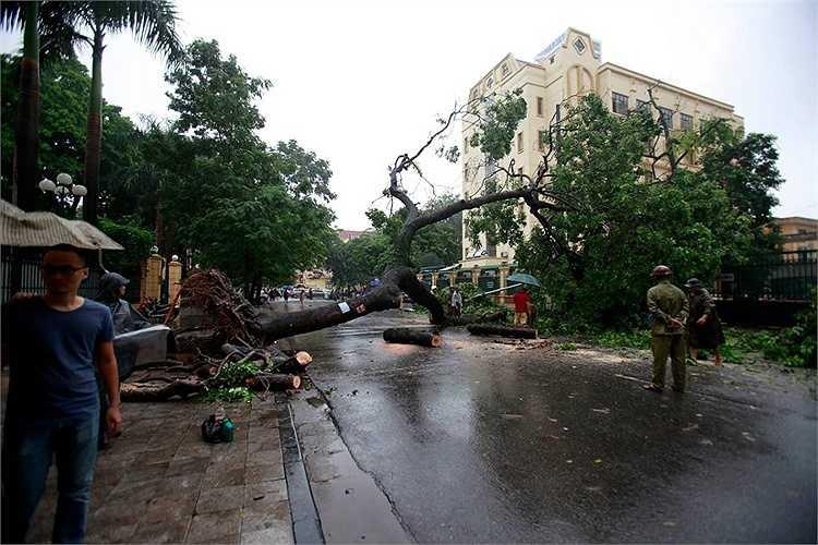 Một cây cổ thụ trên phố Triệu Quốc Đạt (Hoàn Kiếm) bật gốc sau trận mưa kéo dài.