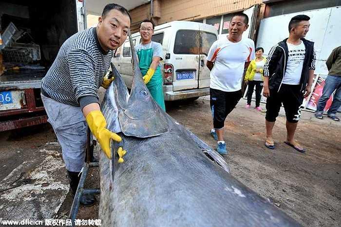Con cá này dài hơn 3,8m dài hơn con cá kiếm lớn được bắt hồi tháng 9 năm ngoái