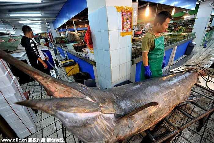 Hồi tháng 9 năm ngoái, một cá kiếm hơn 206kg và dài 3m cũng được đánh bắt ở Thanh Đảo