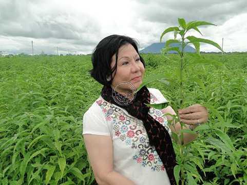 Câu chuyện đến với cây hoàn ngọc để làm ra loại trà thuốc quý của bà Bùi Kim Nga như một câu chuyện chỉ có trong cổ tích.