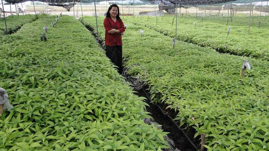 Vượt qua thách thức về việc khẳng định giá trị của cây hoàn ngọc, bà Nga tiếp tục mở rộng nghiên cứu, trồng và chăm sóc cây hoàn ngọc trên cánh đồng mẫu lớn