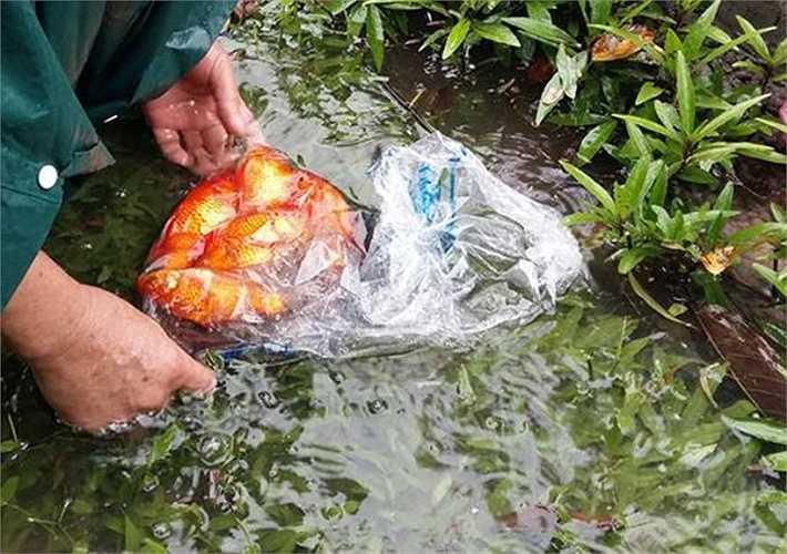 Ngoài các loại cá sống trong ao hồ như rô phi, chép..., cá cảnh cũng được tìm thấy khi nước các hồ dâng cao, tràn lên đường phố.