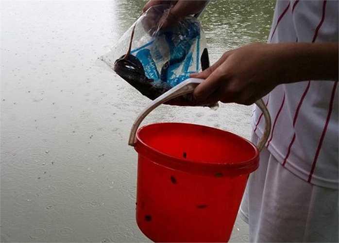 Rất nhiều lươn bò lên vạt cỏ ven hồ Đền Lừ.