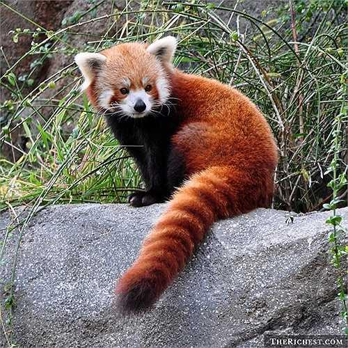 Gấu trúc đỏ. Gọi là gấu nhưng loài vật này trông khá kỳ lạ khi chỉ to hơn con mèo một chút. Loài động vật này thuộc loài có vú ăn cỏ, đặc biệt là lá tre. Gấu trúc đỏ bị săn bắn trái phép và đang được bảo tồn ở nhiều quốc gia