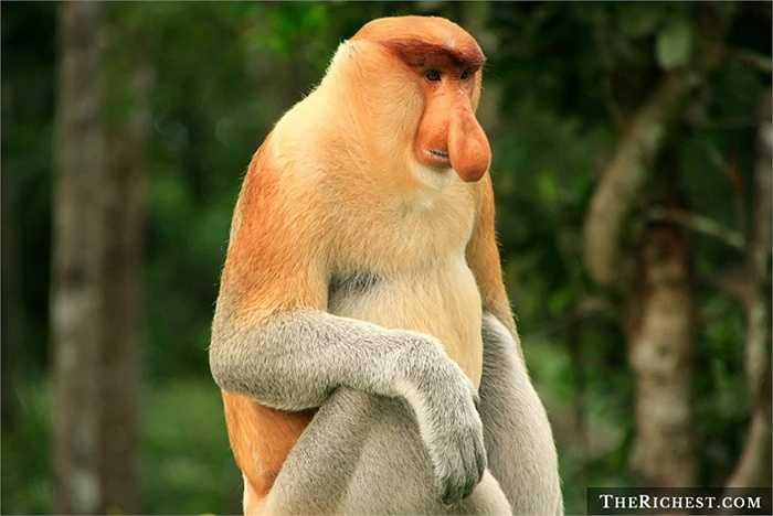 Khỉ vòi. Hay còn gọi là khỉ mũi dài hay Bekantan. Chúng có cái mũi dài ngoẵng và dặc biệt cái bụng phệ. Con trưởng thành có thể nặng tới 30 kg và thường sống chủ yếu ở quần đảo Borneo thuộc Indonesia