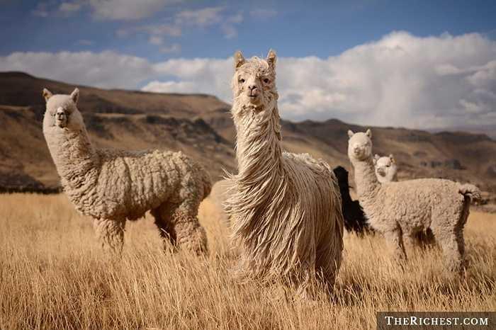 Lạc đà Alpaca. Là một loài động vật được thuần hóa thuộc họ Lạc đà Nam Mỹ, Alpaca có vẻ bề ngoài gần giống một con llama (lạc đà không bướu) nhỏ. Chúng được nuôi để lấy lông và làm len, dệt vải