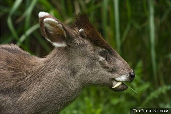 Hươu chần. Loài động vật này có tên khoa học là Elaphodus cephalophus là một loài động vật có vú trong họ Hươu nai, bộ Guốc chẵn. Nhìn nó giống một con ma ca rồng với chiếc răng nanh nhọn hoắt và đây chính là vũ khí chính để chúng chiến đấu lại với kẻ thù