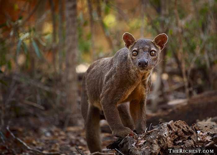 Thú Fossa. Đây là một loài thú dữ săn mồi, chúng nhanh nhẹn và có khả năng đánh hơi mạnh mẽ. Nó được ví là hung thần của đảo Madagascar với khả năng săn mồi tinh nhạy của mình