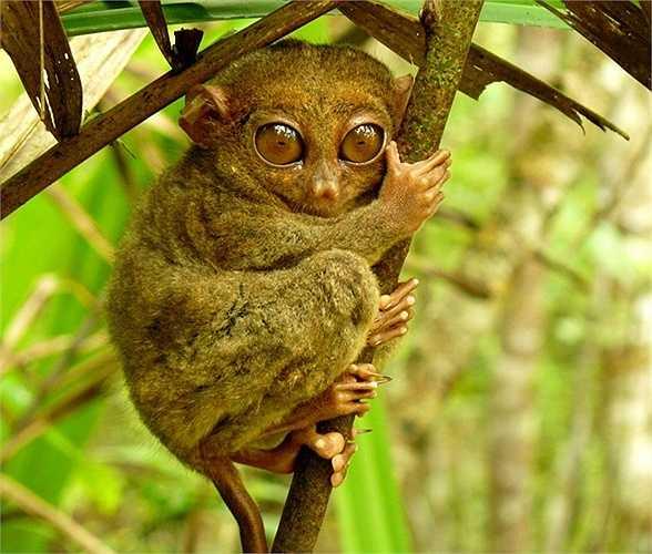 Khỉ lùn Tarsier. Loài khỉ này không chỉ lùn mà còn bé nữa với kích thước chỉ khoảng 85 - 160mm cho chiều cao và nặng 600gr. Chúng là loại linh trưởng bé nhỏ nhất và từng được cho là tuyệt chủng vào năm 1921 trước khi quay trở lại sau 86 năm