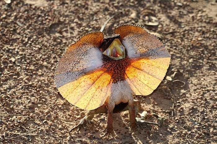 Thằn lằn cổ diềm.  là một loài thằn lằn trong họ Agamidae. Loài này được tìm thấy chủ yếu ở miền bắc Australia và phía nam New Guinea. Loài này là thành viên duy nhất của chi Chlamydosaurus. Nó sở hữu một chiếc diềm to bản xung quanh cổ của mình