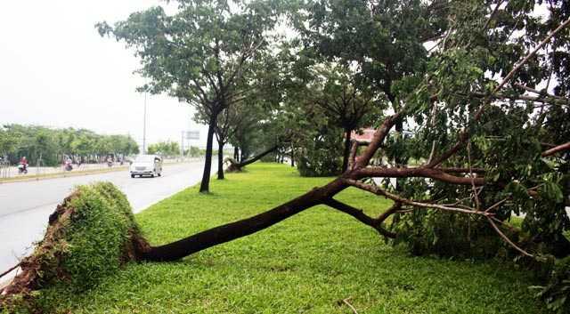 Gần 10 cây xanh có đường kính khoảng 30cm trên đại lộ Võ Văn Kiệt bị gãy, đổ trong cơn mưa kèm theo gió lốc vào chiều 22/9