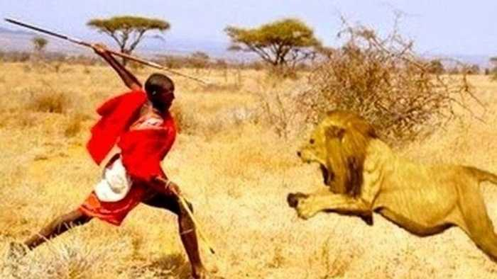 Mặc dù tục lệ chiến đấu với sư tử của người Maasai ở Kenya và Tanzania không còn nhưng trước đây đó là cách duy nhất để đánh dấu lễ trưởng thành của thanh niên vùng này. Các chàng trai trẻ sau khi cắt bao quy đầu sẽ phải tự đi săn và mang xác một con sư tử về, nhiệm vụ đáng sợ với bất kì ai.