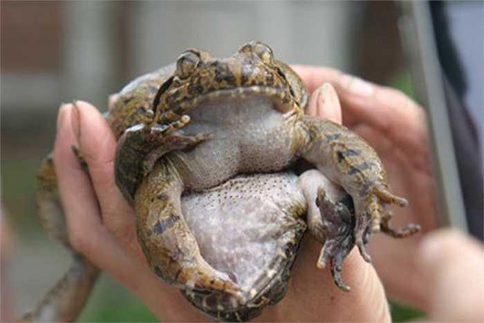 Chúng chỉ sống được ở những nơi có địa hình cao, khí hậu lạnh, những cuộc đi săn ếch hương dài ngày trong rừng ẩn họa nhiều mối nguy hiểm.