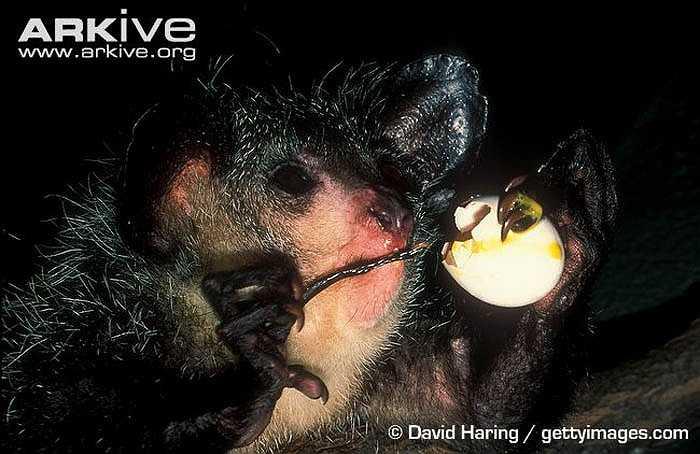 Khỉ Aye Aye có danh pháp khoa học là Daubentonia madagascariensis. Một số nhà khoa học cho rằng, chúng là một loài thuộc họ vượn cáo.