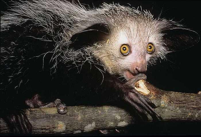 Những con khỉ Aye Aye thường bắt đầu tìm thức ăn vào khoảng 30 phút sau khi mặt trời lặn. Chúng tiêu tốn 80% thời gian của đêm cho công việc ăn uống liên tục này.