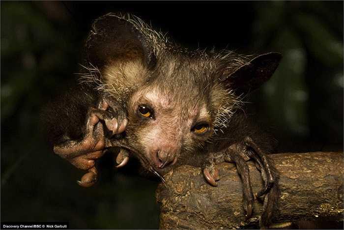 Loài động vật đặc biệt này thường sinh sống đơn độc. Tuy nhiên thỉnh thoảng người ta cũng bắt gặp chúng kiếm ăn theo từng nhóm nhỏ, đó thường là những con khỉ nhỏ chưa trưởng thành đi kiếm ăn chung với mẹ của mình.