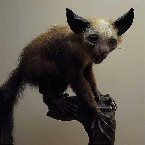 Loài Aye Aye nằm trong cùng một nhánh với con người, khỉ và khỉ không đuôi.