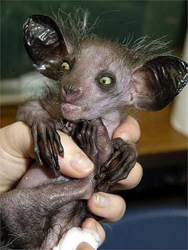 Khỉ Aye Aye hiện chỉ còn tìm thấy ở vùng rừng phía Đông Madagascar.