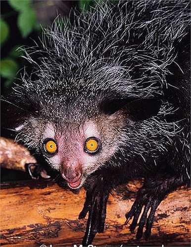 Khỉ Aye Aye có kích thước khá nhỏ bé, nặng khoảng 3kg, với chiều dài cơ thể chỉ vào khoảng 25 –40cm.